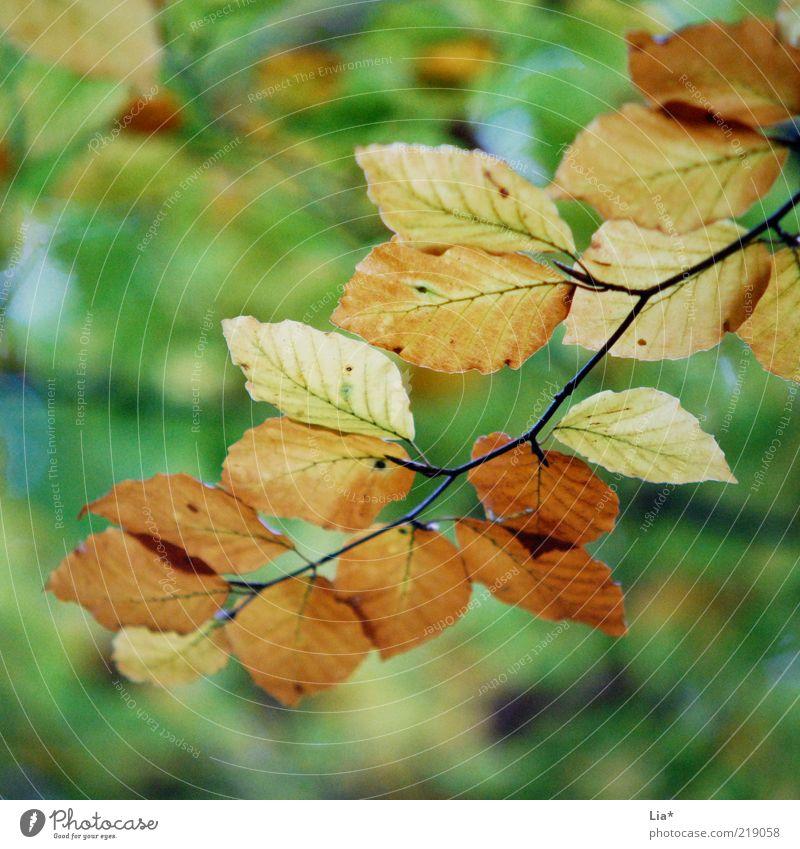 Herbst im Quadrat grün Blatt Umwelt braun Jahreszeiten Zweig Herbstlaub herbstlich Herbstfärbung Herbstbeginn Blätterdach Herbstwald