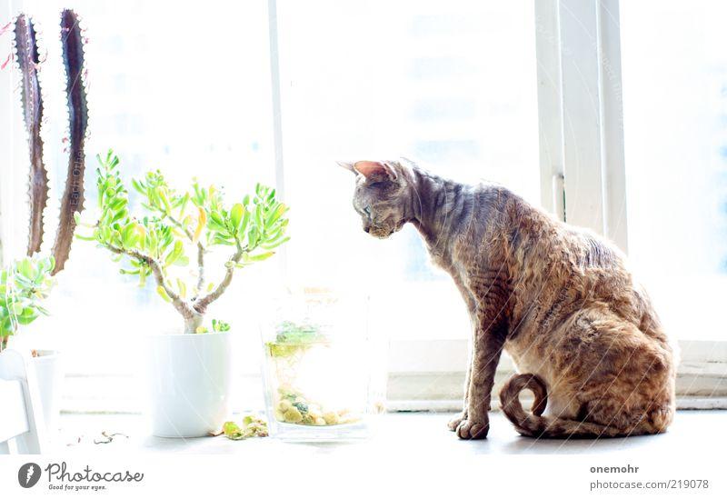 Katze am Fenster elegant Stil Wohnung Dekoration & Verzierung Frühling Sommer Topfpflanze Tier Haustier Devon Rex 1 Glas atmen beobachten Häusliches Leben