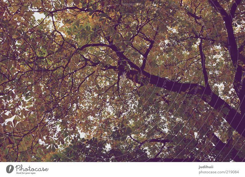 Schöne Aussichten Umwelt Natur Landschaft Pflanze Baum Blatt Blätterdach Baumkrone hoch braun gold grün Vergänglichkeit Baumstamm Höhe Herbst herbstlich