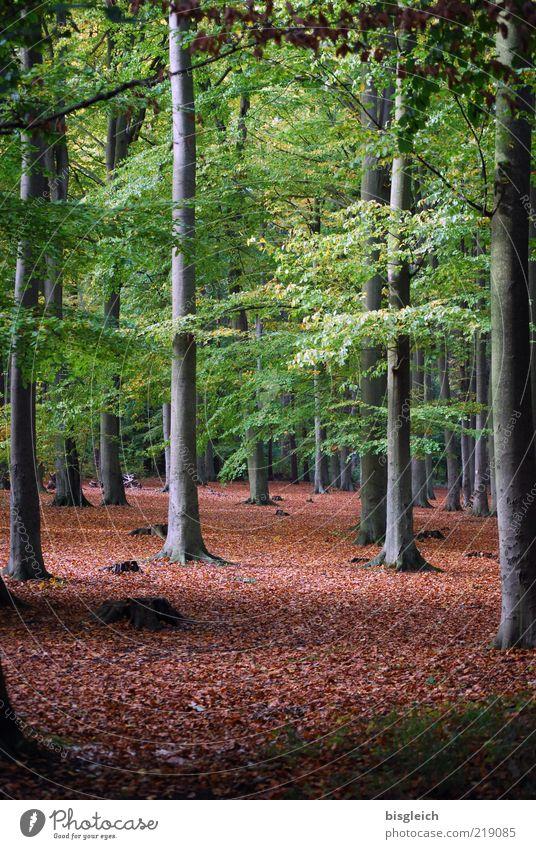 Herbstwald Umwelt Natur Pflanze Baum Wald Holz braun grün ruhig Vergänglichkeit verlieren Baumstamm Blatt Farbfoto Außenaufnahme Tag Menschenleer hoch