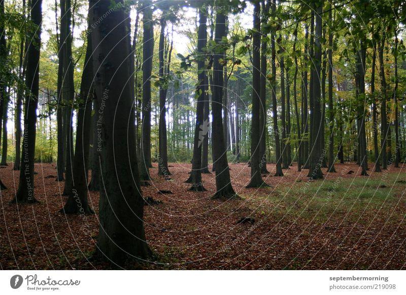 Blätterwald Natur Baum grün ruhig Blatt Wald Herbst Landschaft braun hoch Baumstamm Buche Buchenwald