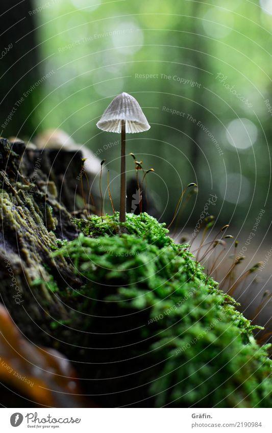 Waldwohnzimmer Umwelt Natur Landschaft Pflanze Herbst Moos Grünpflanze Wildpflanze Pilz Wachstum dunkel klein braun grün geduldig ruhig entdecken Idylle