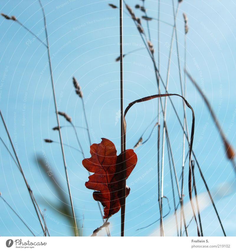 Blatt solo Wolkenloser Himmel Herbst Schönes Wetter Gras Wildpflanze blau braun rot ästhetisch einzigartig Leichtigkeit Mittelpunkt Natur Vergänglichkeit
