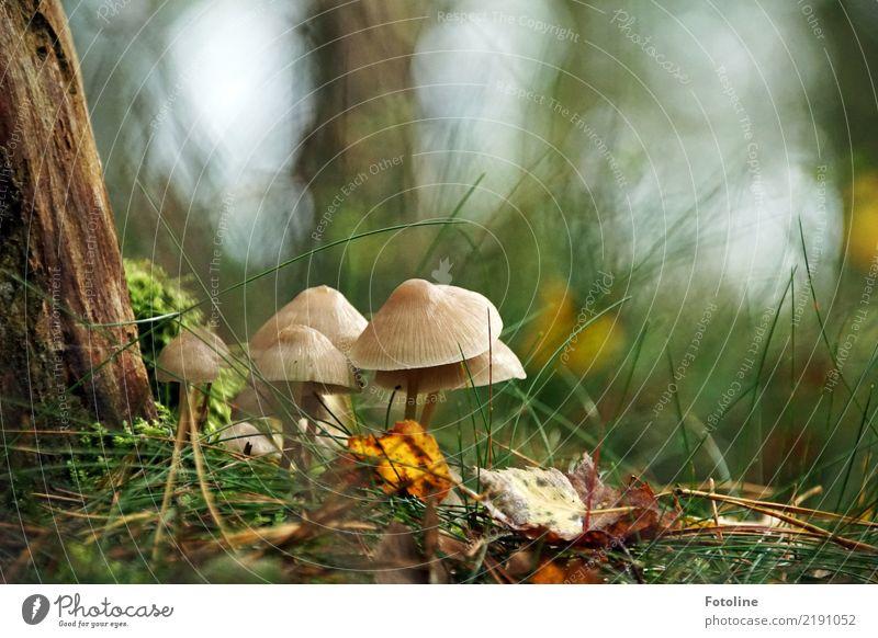 Versammlung Umwelt Natur Landschaft Pflanze Herbst Baum Gras Wildpflanze Wald hell nah natürlich braun grün Pilz Pilzhut Tannennadel Baumrinde herbstlich