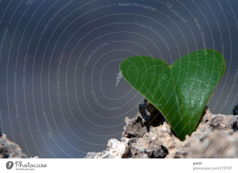 Mein Herzblatt Blatt Grünpflanze Stein elegant frisch schön trocken grau grün Liebe Farbfoto Außenaufnahme Nahaufnahme Textfreiraum links Textfreiraum oben
