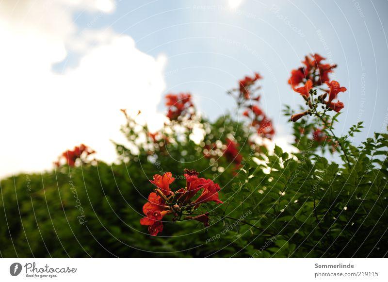 Dem Himmel entgegen Umwelt Natur Pflanze Wolken Frühling Sommer Schönes Wetter Blume Blüte Trompetenblume Blühend Wachstum exotisch schön blau grün rot weiß