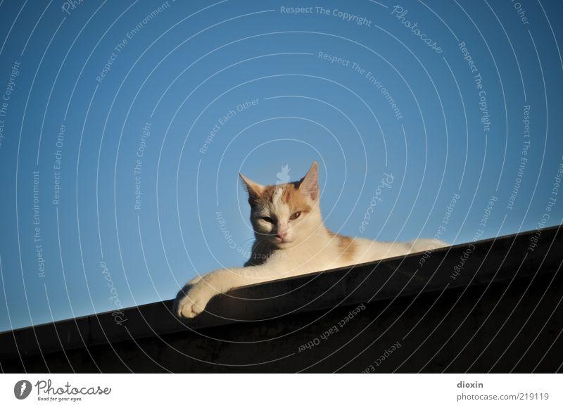 Aristocat ruhig Tier Erholung Wand Mauer Katze liegen Gelassenheit genießen Haustier kuschlig Wolkenloser Himmel Katzenpfote