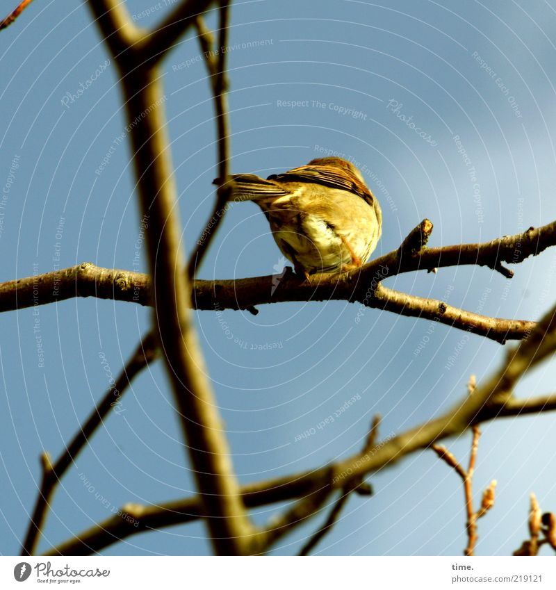 Pffff ... Himmel blau Baum Pflanze Tier gelb Vogel sitzen Feder Ast Zweig Schwanz Weide hocken Perspektive