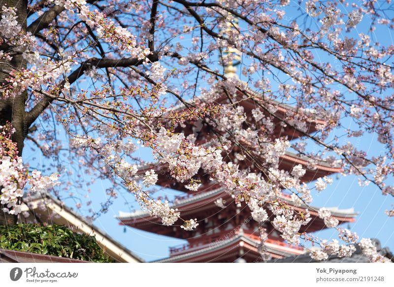 Japanische Pagode mit Kirschblüte oder Kirschblüte am Sensoji-Tempel schön Ferien & Urlaub & Reisen Garten Frühling Baum Blume Blüte natürlich rosa Farbe Sakura