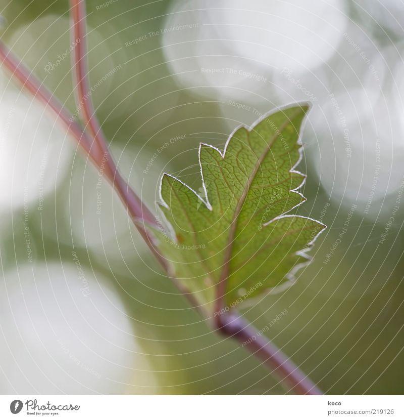 Blättchen Natur schön weiß grün Sommer Blatt Leben Frühling braun glänzend Umwelt Wachstum einzigartig Spitze Blühend Frühlingsgefühle