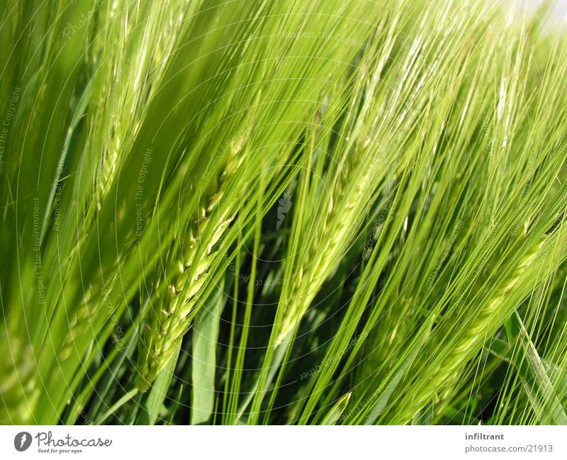 Getreide Gerste Natur Pflanze Korn Landwirtschaft Feld Ähren Makroaufnahme Nahaufnahme