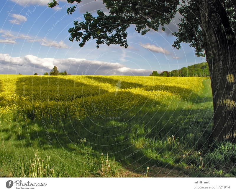 Rapsfeld Feld Baum Schatten Himmel Wolken Wiese Frühling Blüte gelb Sommer Sonne Schönes Wetter Natur Landschaft