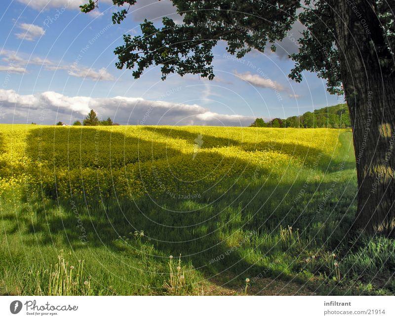 Rapsfeld Natur Himmel Baum Sonne Sommer Wolken gelb Wiese Blüte Frühling Landschaft Feld Schönes Wetter