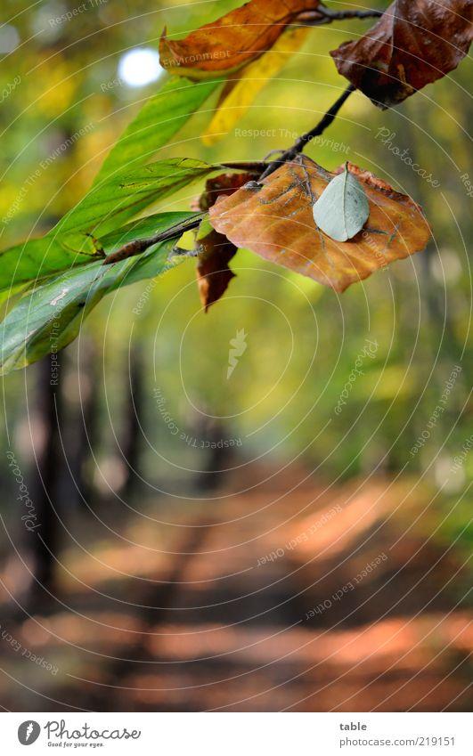 der Weg Umwelt Natur Landschaft Pflanze Herbst Klima Schönes Wetter Blatt Wildpflanze Buche Buchenblatt Wald Wege & Pfade Fußweg Erholung hängen liegen braun