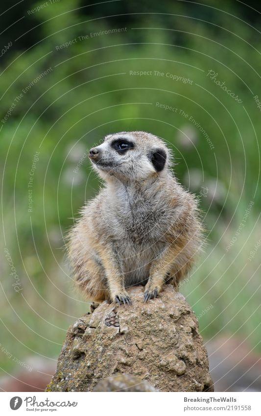 Abschluss oben des meerkat Sitzens alarmiert auf dem Felsen Tier Wildtier Tiergesicht Zoo Erdmännchen 1 wild grün Sicherheit Vorsicht Angst bedrohlich sitzen