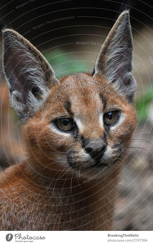 Schließen Sie herauf Porträt des caracal Kätzchens Untersuchung in Kamera Tier Wildtier Tiergesicht Zoo Karakal Wildkatze Fleischfresser Raubtier Katze 1 Blick