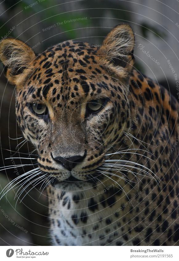 Schließen Sie herauf das Porträt des persischen Leoparden untersuchend Kamera Tier Wildtier Tiergesicht Zoo Leopardenmuster Persischer Leopard Panthera pardus