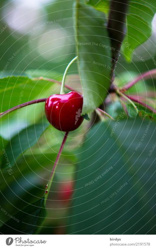 süß und saftig Frucht Kirsche Sommer Blatt Nutzpflanze ästhetisch frisch glänzend lecker positiv grün rot Vorfreude Duft genießen Vitamin Farbfoto Außenaufnahme