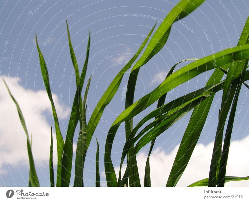 Grashalme am Himmel :-) Rasen Wiese Halm Blatt grün Wolken blau Froschperspektive Sommer Frühling Pflanze Natur