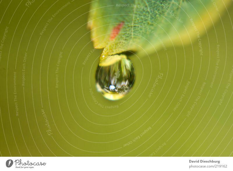 Einwegperle Natur Pflanze grün Wasser Blatt glänzend Wassertropfen einzeln nass rund Tropfen hängen Tau Wasserspiegelung Makroaufnahme hydrophob