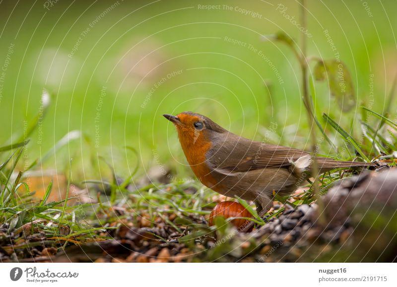 Rotkehlchen schön grün weiß Tier Freude schwarz gelb grau braun Vogel orange ästhetisch Wildtier authentisch Fröhlichkeit Flügel