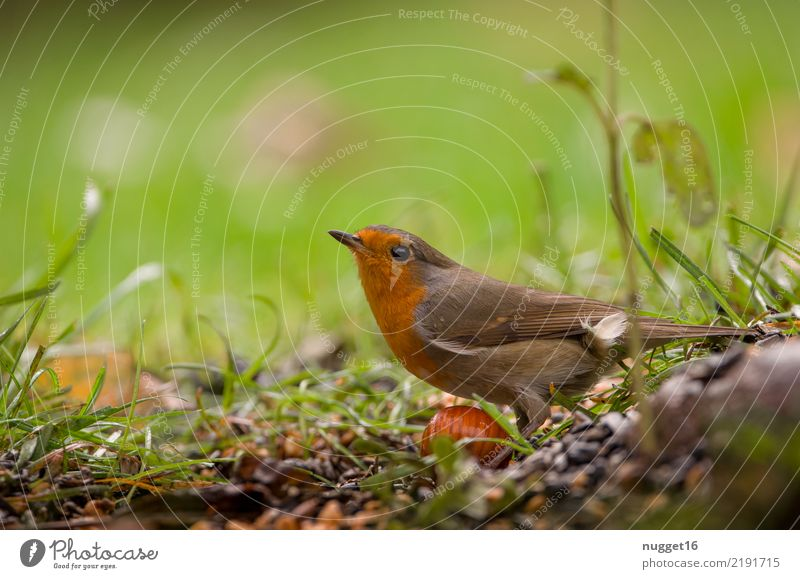 Rotkehlchen Tier Wildtier Vogel Tiergesicht Flügel 1 ästhetisch authentisch Freundlichkeit schön Neugier niedlich braun mehrfarbig gelb grau grün orange schwarz