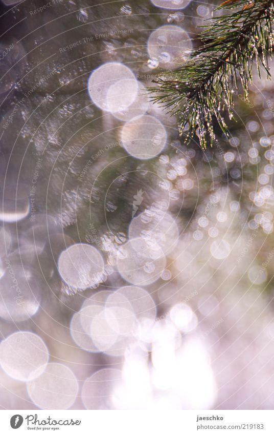 Nasse Tanne Natur Winter Schnee Schneefall Eis glänzend leuchten Frost fantastisch Zweig Postkarte Tau Grünpflanze Lichtpunkt traumhaft Tannennadel