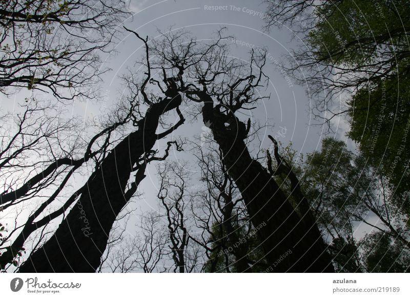 Wir gehören doch zusammen, oder? Natur alt Baum ruhig schwarz Einsamkeit Wald Holz Traurigkeit hoch ästhetisch Netzwerk Wachstum paarweise bedrohlich Ast