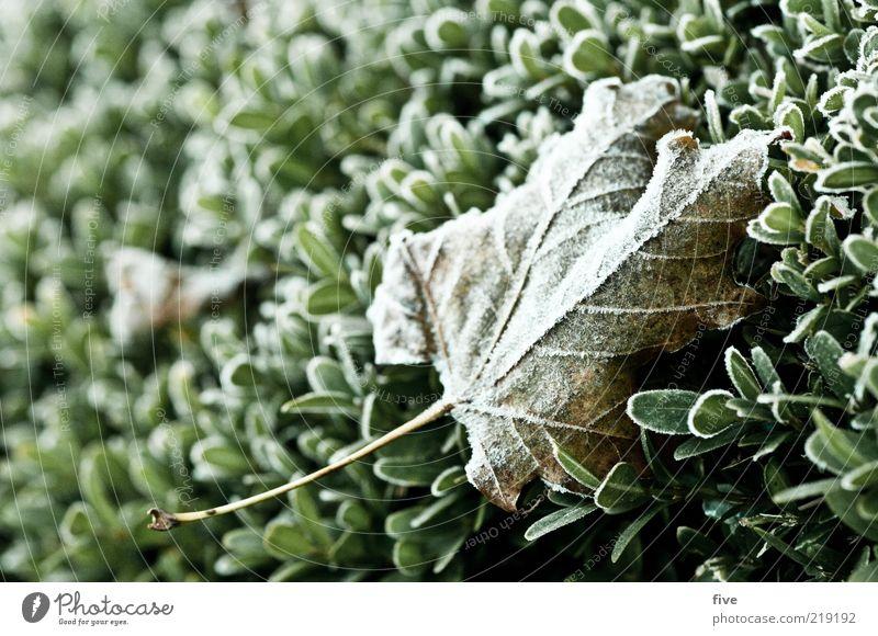 klebt ein blatt an der seite Umwelt Natur Herbst Eis Frost Pflanze Sträucher Blatt Grünpflanze frisch kalt nass Tau Hecke Farbfoto Außenaufnahme Detailaufnahme