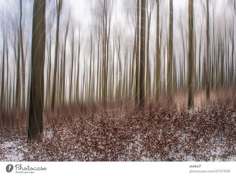 Herbstwaldfinale Natur Winter Wald kalt Bewegung Schnee braun hoch Wandel & Veränderung trocken Laubwald Buchenwald
