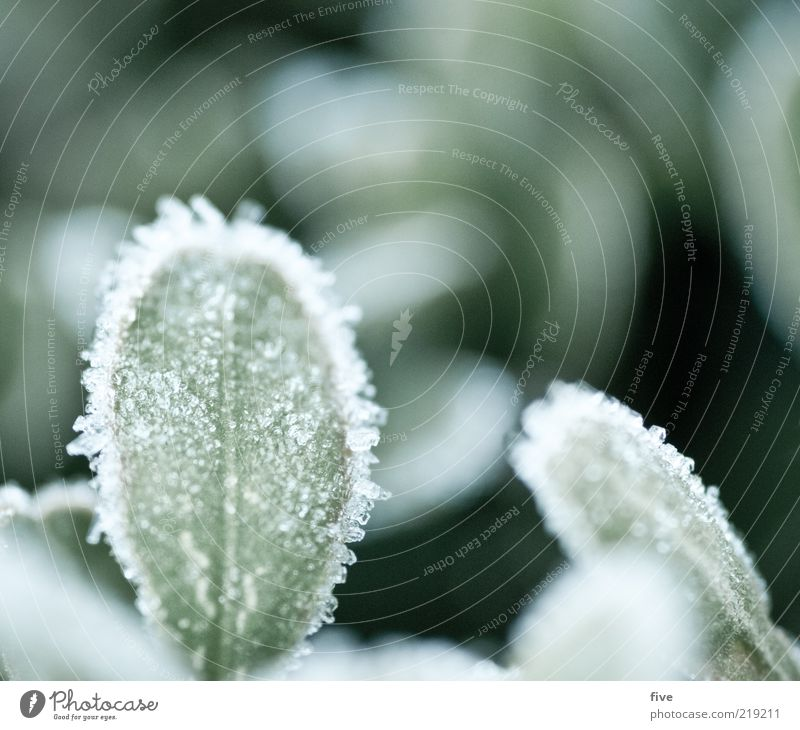 taufrisch Natur grün Pflanze Blatt kalt Herbst Eis frisch Frost gefroren Tau Eisschicht