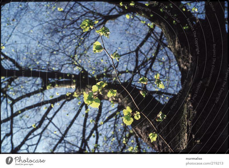 die ersten . . . Natur Baum Pflanze Blatt Frühling Stimmung Umwelt frisch neu Wachstum authentisch Ast Baumstamm nachhaltig Frühlingsgefühle Linde