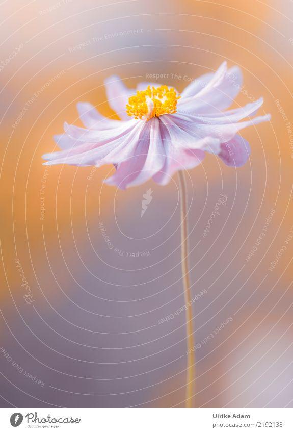 Softly - Rosa Anemone elegant Design schön Wellness Leben harmonisch Wohlgefühl Zufriedenheit Erholung ruhig Meditation Muttertag Geburtstag Natur Pflanze