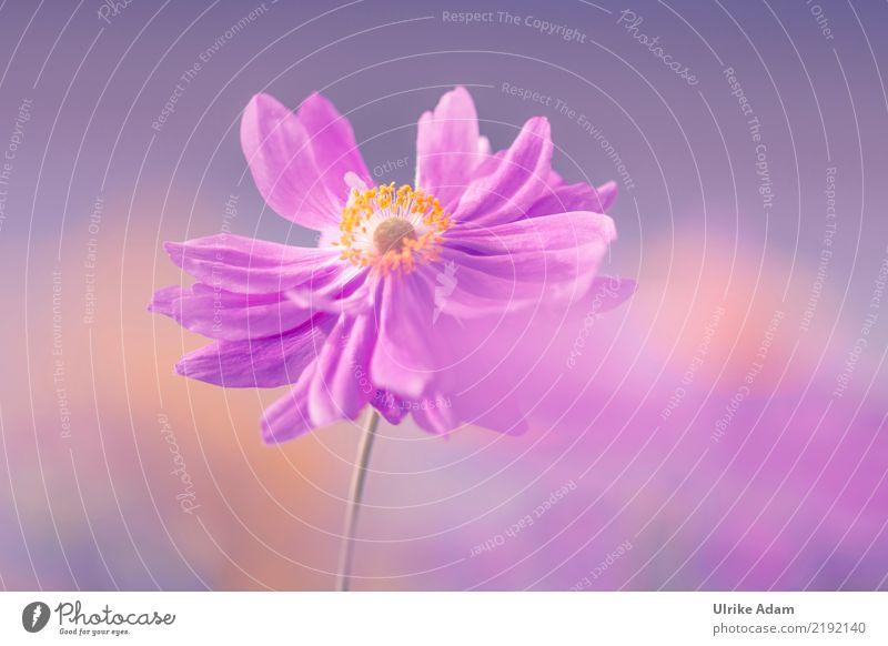 Anemone Natur Pflanze Herbst Blume Blüte Anemonen Herbstanemone Blütenstempel Pollen Garten Park Blühend natürlich rosa Warmherzigkeit Romantik ruhig Erholung