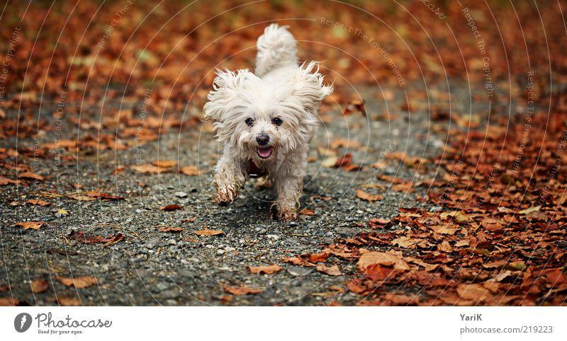 Killer Hund Natur weiß schön Blatt Tier Herbst Wege & Pfade klein orange Zufriedenheit laufen rennen Fröhlichkeit niedlich Ohr
