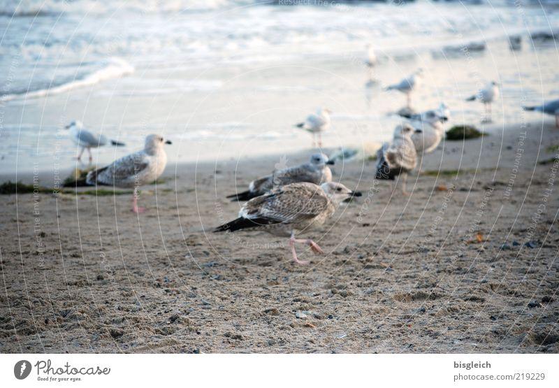 Möwen III Strand Meer Wellen Küste Ostsee Vogel Tiergruppe Schwarm Sand Wasser laufen kalt blau braun grau Farbfoto Gedeckte Farben Außenaufnahme Tag mehrere