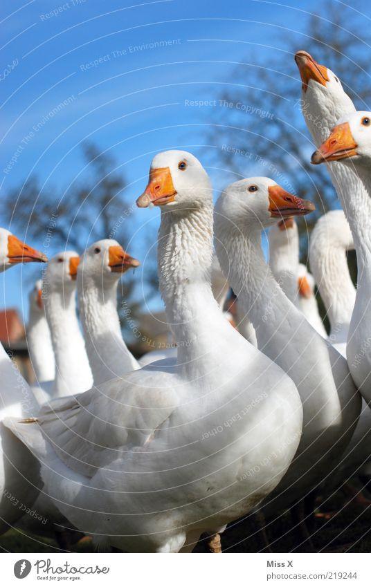 Hallo Martinsgans :-D weiß Tier Vogel mehrere Tiergruppe Neugier viele Schnabel Gans Tierzucht Nutztier Federvieh Blick Tierlaute Tierhaltung Geflügelfarm