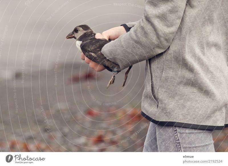 little Puffin (3) Küste Strand Wildtier Vogel Tierjunges Papageitaucher tragen Zusammensein klein Lebensfreude Tierliebe Beginn anstrengen Bewegung Gefühle