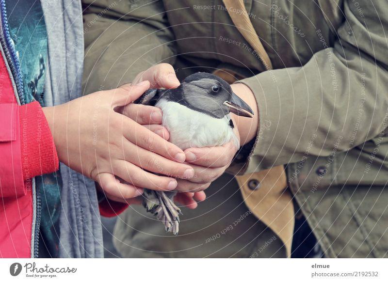little Puffin (1) Hand Wildtier Vogel Papageitaucher Tierjunges Ritual Tradition berühren entdecken fangen festhalten tragen werfen Zusammensein Glück