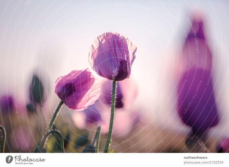 Lila Mohn Leben Natur Landschaft Pflanze Sonnenaufgang Sonnenuntergang Frühling Sommer Schönes Wetter Blume Blüte Nutzpflanze Mohnblüte Mohnfeld Mohnkapsel