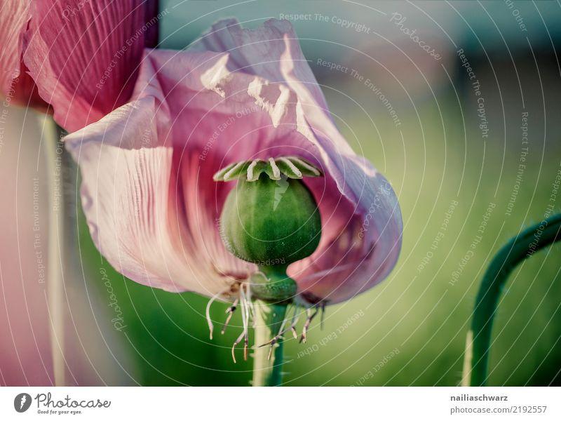 Lila Mohn Natur Pflanze Sommer Farbe schön grün Blume Leben Umwelt Blüte Frühling Liebe Wiese natürlich Garten Park