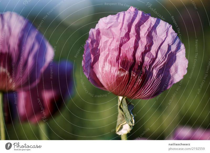 Lila Mohn Leben Umwelt Natur Landschaft Pflanze Frühling Sommer Schönes Wetter Blume Garten Park Wiese Feld exotisch fantastisch natürlich weich grün violett