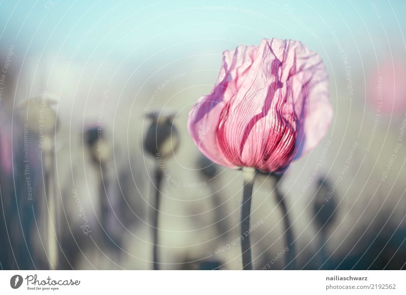 Lila Mohn Natur Pflanze blau Sommer Blume Leben Umwelt Blüte Frühling Liebe Wiese natürlich Garten grau rosa Park