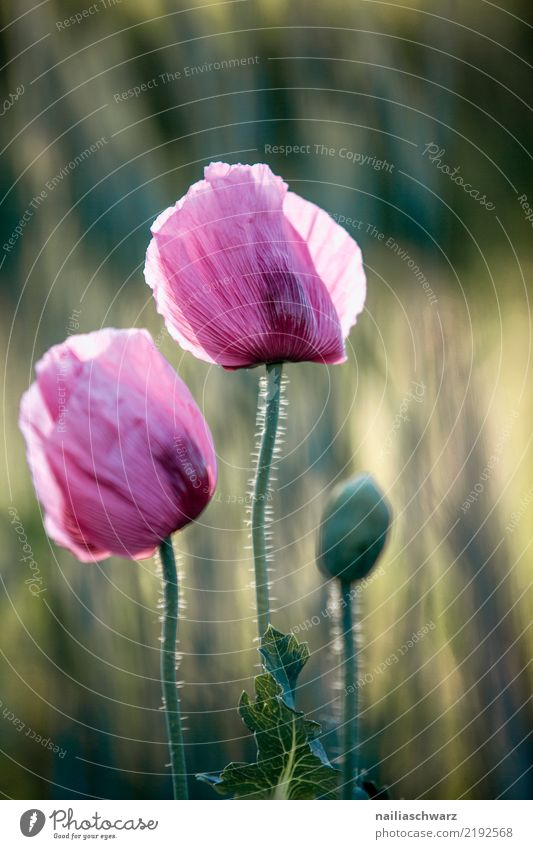 Lila Mohn Natur Pflanze Sommer grün Blume Leben Umwelt Blüte Frühling Liebe Wiese natürlich Garten Park Feld Wachstum