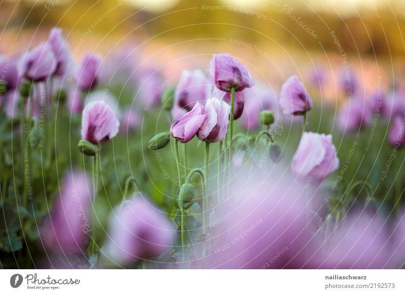 Lila Mohnfeld Natur Pflanze Sommer Farbe grün Landschaft Blume Leben Umwelt Blüte Frühling Wiese natürlich Garten Park Feld