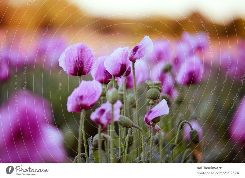 lila Mohnfeld Leben Umwelt Natur Landschaft Pflanze Sonnenaufgang Sonnenuntergang Frühling Sommer Blume Blüte Nutzpflanze Mohnblüte Garten Park Wiese Feld