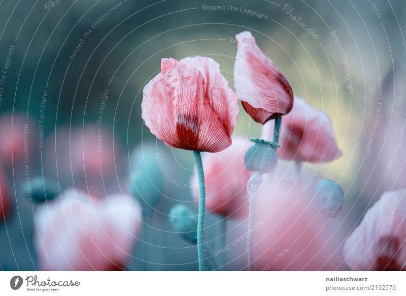 Lila Mohn Natur Pflanze blau Sommer Farbe Landschaft Blume Leben Umwelt Blüte Frühling Wiese natürlich Garten grau rosa