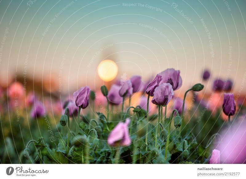 lila Mohn beim Sonnenuntergang Natur Pflanze Sommer schön Farbe grün Blume Leben Umwelt Frühling Liebe Blüte natürlich Wiese Garten Feld