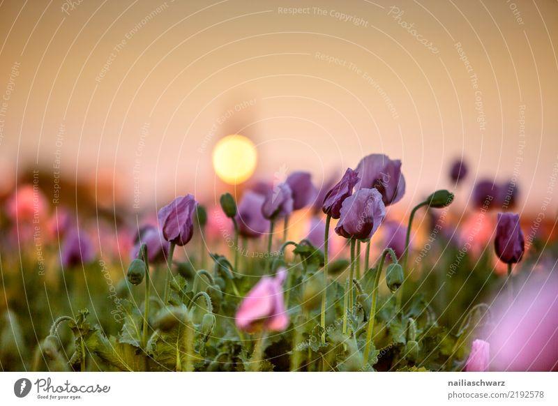 Mohnfeld Leben Natur Landschaft Pflanze Sonnenaufgang Sonnenuntergang Frühling Sommer Blume Blüte Nutzpflanze Mohnblüte Garten Park Wiese Feld Blühend Wachstum