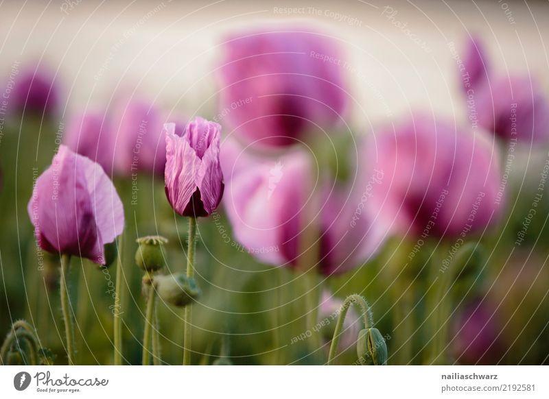 lila Mohn Leben Umwelt Landschaft Pflanze Frühling Sommer Schönes Wetter Blume Blüte Feld Blühend Duft Wachstum natürlich schön grün violett Frühlingsgefühle